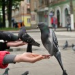 City pigeon on a hand — Stock Photo