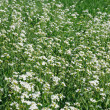 Stock Photo: Green field with white flowers