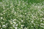 Groen veld met witte bloemen — Stockfoto