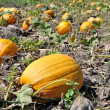 Yellow pumpkins — Stock Photo
