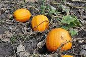 Three yellow pumpkins — Stock Photo
