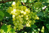 Growing branch of green grape in sunlight — Stock Photo
