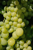 Growing branch of green grape in sunlight — Stock fotografie