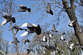 Flock of city pigeons flying — Stock Photo