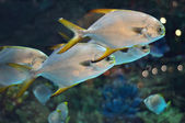 School of fish similar to platax or Pomfret in salwater aquarium — Stock Photo