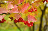 Branch of viburnum — Stock Photo