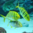 Gnathanodon speciosus black stripes yellow fish — Stock Photo