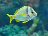 Porkfish grants — Stock fotografie