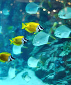 Several foxface fish — Stock Photo