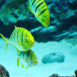 Gnathanodon speciosus black stripes yellow fish — Stock Photo #45242395