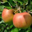 Two red apples on the branch — Stock Photo #45242465