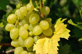 Growing branch of green grape in sunlight — Стоковое фото