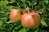 Two red apples on the branch — Stock Photo