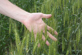 Man's hand holding spicas of wheat — Stock Photo