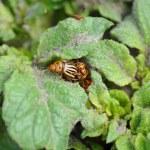 Colorado bug on the potato bush — Stock Photo #46513477