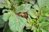Colorado bug on the potato bush — Stok fotoğraf