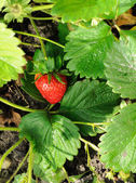 Red ripe strawberry on the bush — Stock Photo