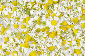 Background made by heads of camomile — Stockfoto