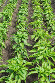 rows of pepper in a garden — Stock Photo