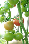 Branch of ready to ripen tomatoes — Stock Photo