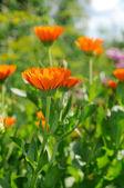 Bright flower of calendula — Stock Photo