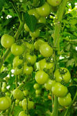 Two branches of tomato with green unripe fruits — Stock Photo