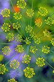 Inflorescence of dill — Stock Photo