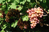 Cluster of pink grape on the vine — Photo