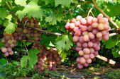 Cluster of pink grape on vine — Stock Photo
