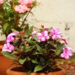 Pink Impatiens — Stock Photo