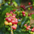 Coffee Cherries (Beans) - Stock Photo
