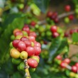 Stock Photo: Coffee Cherries (Beans)