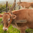 Cow with Bizzare Collar - Stock Photo