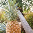 Harvested Pineapples — Stock Photo