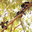 Howler Monkey Family - Stock Photo