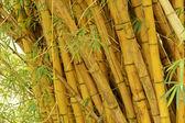 бамбук — Стоковое фото