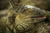 Iguana Closeup — Photo