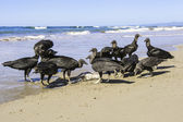Black Vultures — Stock Photo
