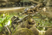 Estanque de tortugas — Foto de Stock