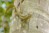 Jesus Christ Lizard-Basiliscus basiliscus — Stock Photo