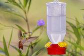 Hummingbird karmienia — Zdjęcie stockowe