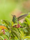 Hummingbird Liftoff — Stock Photo