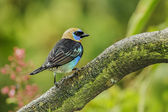 Golden-hooded Tanager — Stock Photo