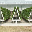 Hydroponically Grown Strawberry Vines — Stockfoto