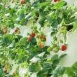 Foto de Stock  : Hydroponically Grown Strawberry Vines