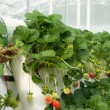 ストック写真: Hydroponically Grown Strawberry Vines