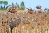 Dried sunflowers — Stock Photo