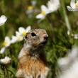 Watchful gopher — Stockfoto #13509856