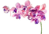 Orchid isolated on a white background — Foto de Stock