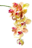 Orchid isolated on a white background — Stock Photo